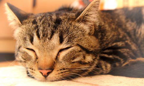 気持ちよさそうに眠る猫 ロン